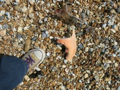 Dungeness, giant crab claw