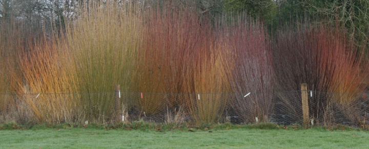 Willow bed at Sacred Earth, Horam